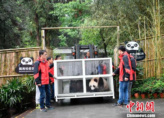 A pair of giant pandas Ru Yi and Ding Ding leaves Chengdu for Moscow on April 29. (Photo: China News Service/Li Chuanyou)