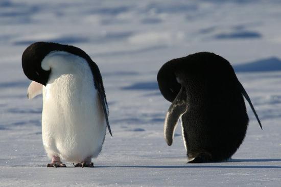 Emperor penguins in Antarctic vanishes