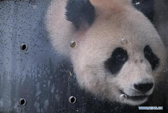 Giant pandas to leave for Russia