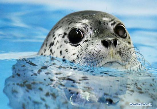 Three seal pups enter 'seal kindergarten' at Harbin Polarland
