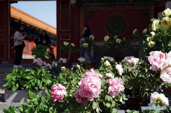 Peony flowers exhibition held in Palace Museum in Beijing