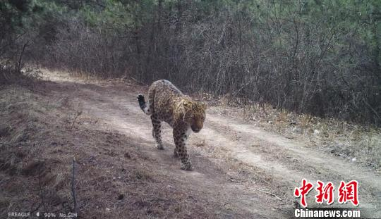 Leopards frequently spotted in northwest China