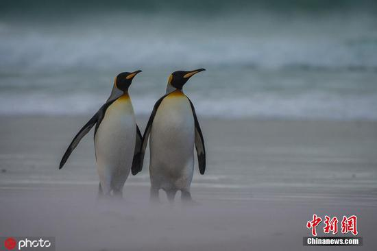 Penguins hold hands during romantic beach walk