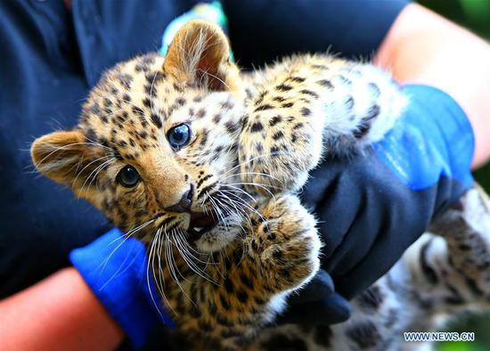 Amur leopard remains critically endangered even though numbers have grown