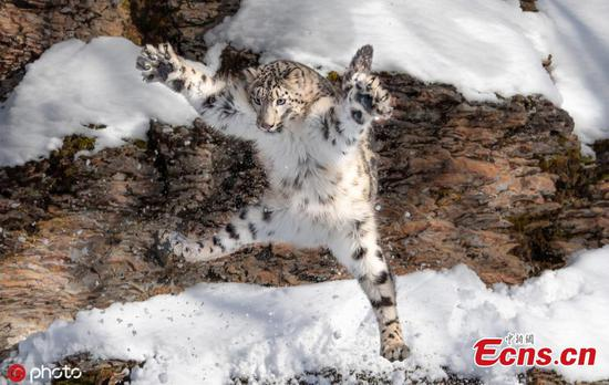 Snow leopard strikes a cute kitten-like pose