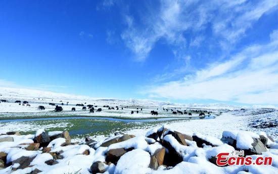 积雪袭击四川大片草原