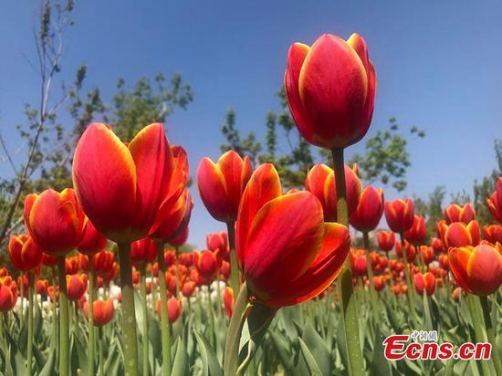 中国东北吉林的郁金香盛开