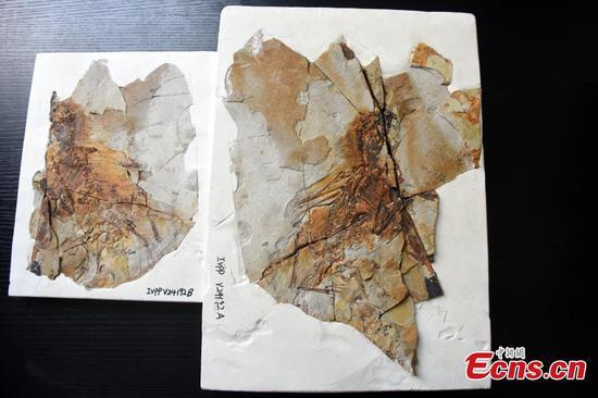 发现蝙蝠翼恐龙的新物种