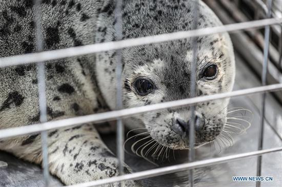Photo taken on April 11, 2019 shows a spotted seal to be released back into the wild in Dalian, northeast China's Liaoning Province.  (Xinhua/Pan Yulong)