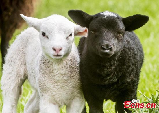 Lamb twins born completely different colours