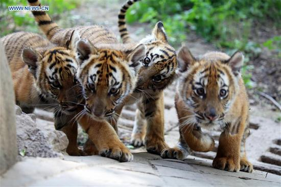 6 South China Tiger cubs allowed to meet public in Henan
