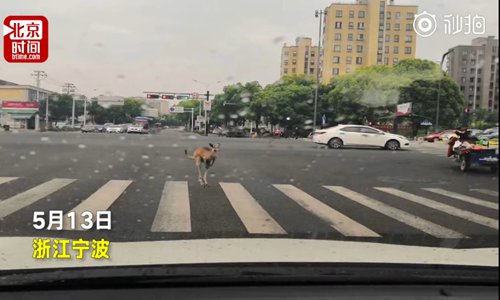 A kangaroo stands on the zebra crossing. (Screenshot photo/Btime)