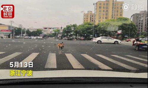 Ningbo motorist's photo helps police nab fugitive kangaroo at zebra crossing