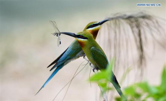 Blue bee eaters in Haikou, China's Hainan