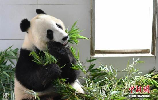The giant panda Xiao Liwu [Photo: Chinanews.com]