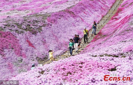 Shibazakura blossoms attract visitors in Hokkaido