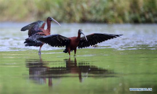 Three glossy ibises sighted for first time in Shaanxi