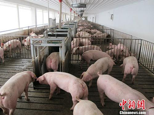 Vaccines tested to combat African swine fever