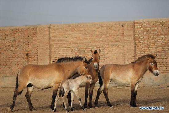 Four foals of Przewalski's horse born since start of breeding season in Xinjiang
