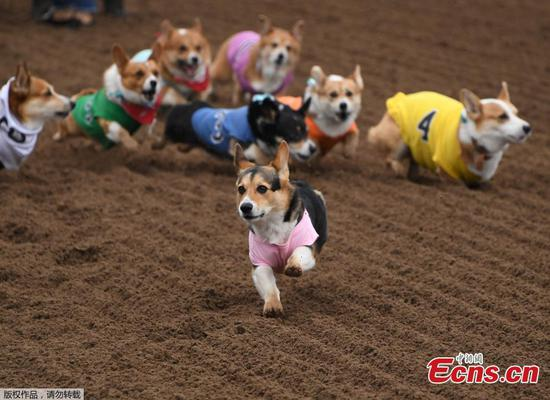 Dogs race at 'Corgi Nationals' championship in California