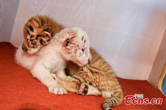 Rare twin tiger cubs one month old in Hangzhou