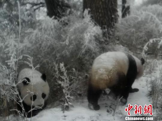 Wild panda mother, cub captured on video in northwest China