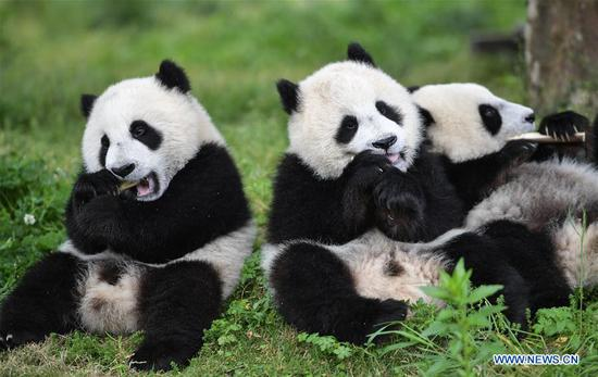 Baby giant pandas at 'Giant Panda Kindergarten' in Wolong, Sichuan