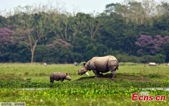 Baby rhino grazes with mom in India