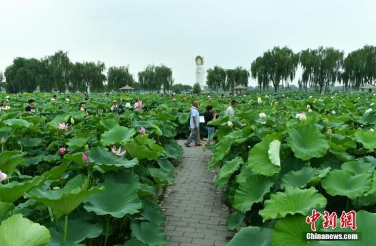 Lotus flowers bloom along Baiyangdian Lake in Xiongan New Area. (Photo/China News Service)
