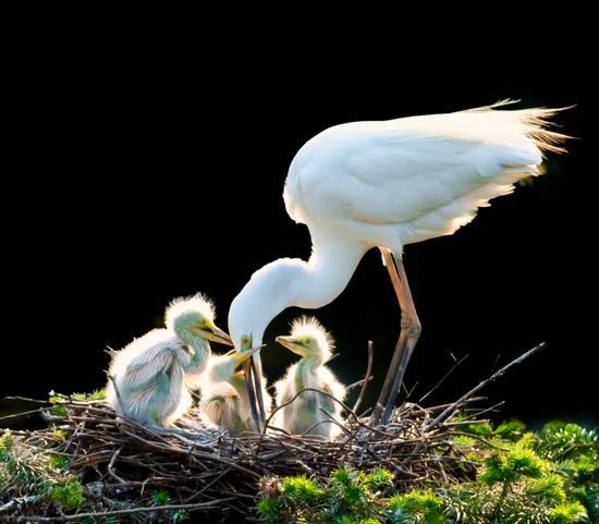 Egrets enter breeding season in Jiangxi