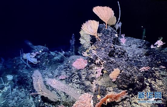 China's ROV finds sponge and coral gardens in western Pacific Ocean