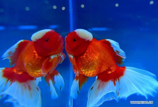 2nd international goldfish competition held in Fuzhou
