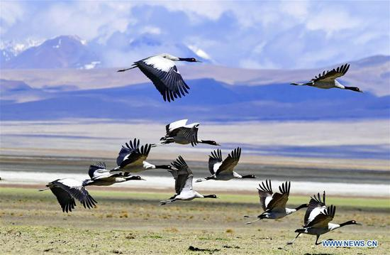 Black-necked cranes in Doqen Co (Lake), Tibet