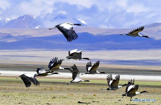 西藏多琴公司(湖)的黑颈鹤