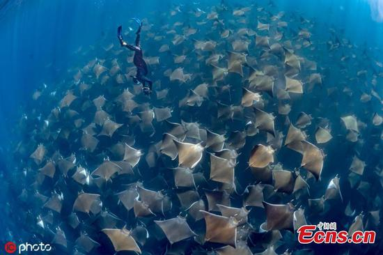 Mind-boggling images of manta ray migration