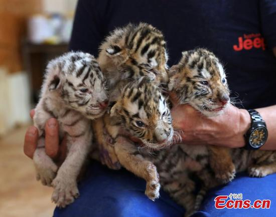 Four tiger cubs born in eastern city