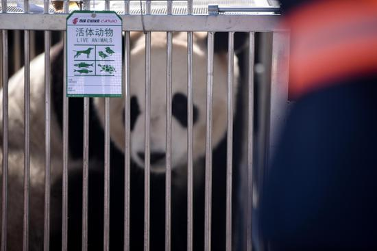 Pandas first settle down in China's plateau city