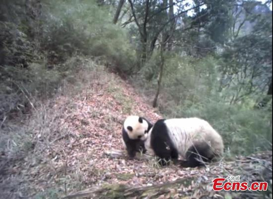 Mother panda and cub enjoy good time in Gansu nature reserve