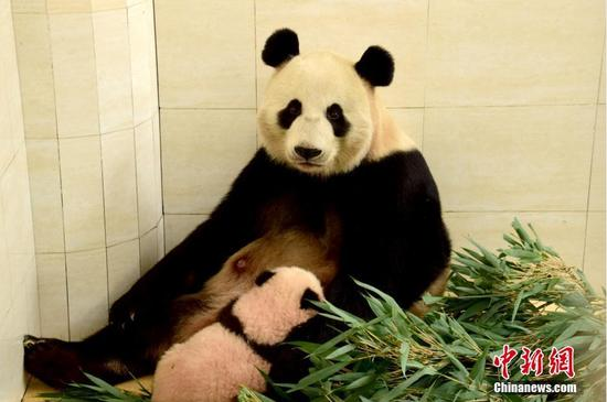 Pandas travel to Russia for first time in 62 years