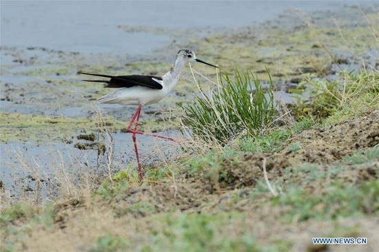 新疆乌龙古湖国家湿地公园的野生鸟类