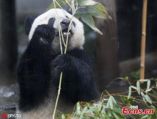 即将到2岁的熊猫香香将延长在上野动物园的停留时间