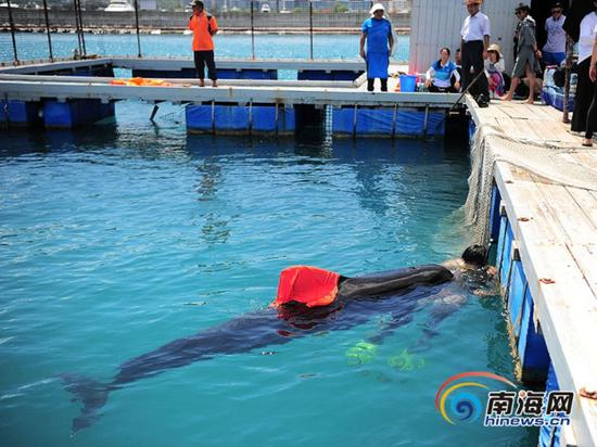 Undated photo of a volunteer looking after a stranding pilot whale, Sanya, Hainan Province. (Photo/hinews.cn)