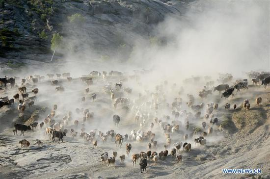 牧民忙于将牲畜转移到新疆的夏季牧场