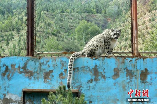 An artificially bred snow leopard at the Qinghai-Tibet Plateau Wildlife Zoo turns three years old on June 10, 2019. (Photo/China News Service)