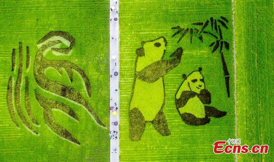 Large panda image in rice field attracts visitors