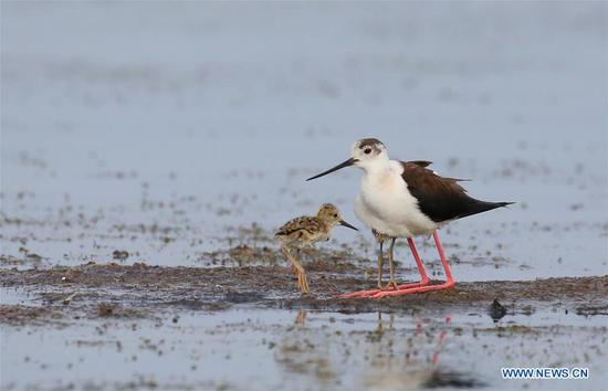 Black-winged stilts seen at wetland in Dalian