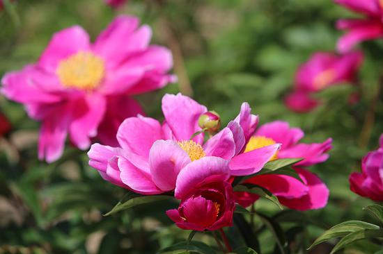 Colorful peonies a dazzling sight in Jilin