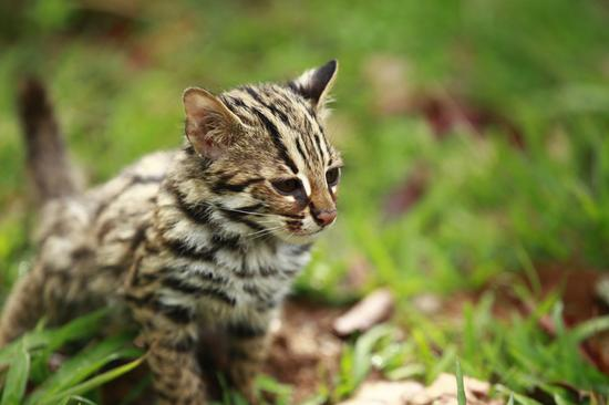 Rescued Asian leopard cats trained to be wild