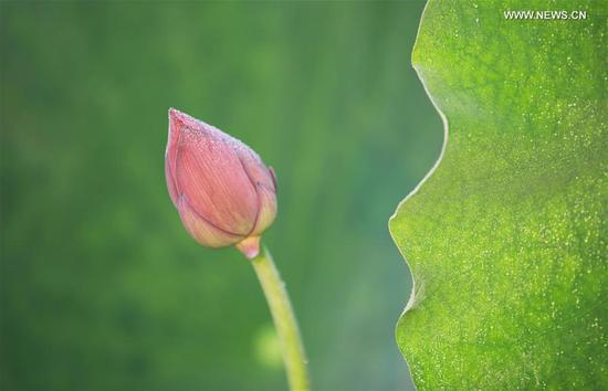 湖南中部盛开的莲花