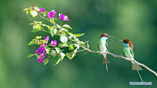 Blue-throated bee eaters seen in Nanping City, Fujian